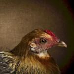 chicken vermeer
