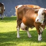 dairy cow - austria