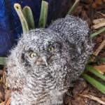 fledgeling owls