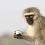 monkey with sugar pack