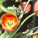 tulip bamboo