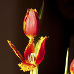 tulip with fringe